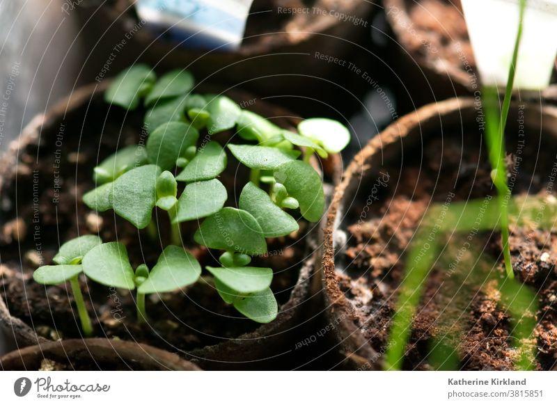 Basilikum Setzlinge Keimling sprießen Ackerbau Schmutz Baby jung neu Leben wachsen Wachstum wachsend Botanik Garten garedning Gartenarbeit Ökologie grün braun