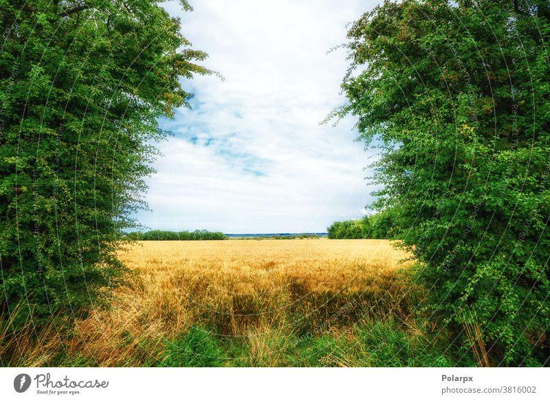 Goldenes Feld umgeben von grünen Bäumen Landschaft orange Laubwerk Szene ländlich Cloud rot Saison Tag natürlich idyllisch Pflanze Herbst Ernte Wald Weide Wiese