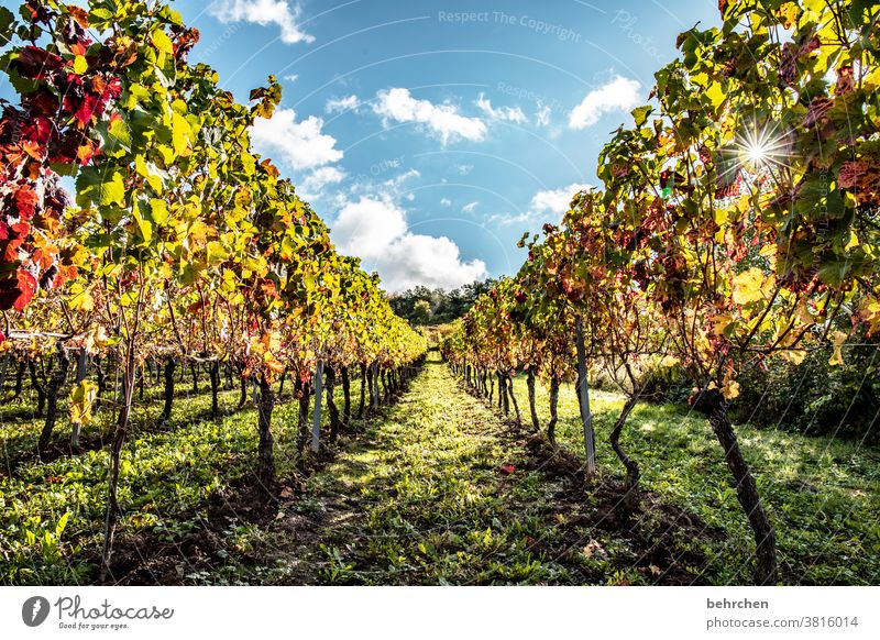 sonnenwein Wege & Pfade Moselsteig Hunsrück Moseltal Weinbau Rheinland-Pfalz Mosel (Weinbaugebiet) Sonnenlicht Ruhe Idylle Weinstock Farbfoto Himmel Weinberg