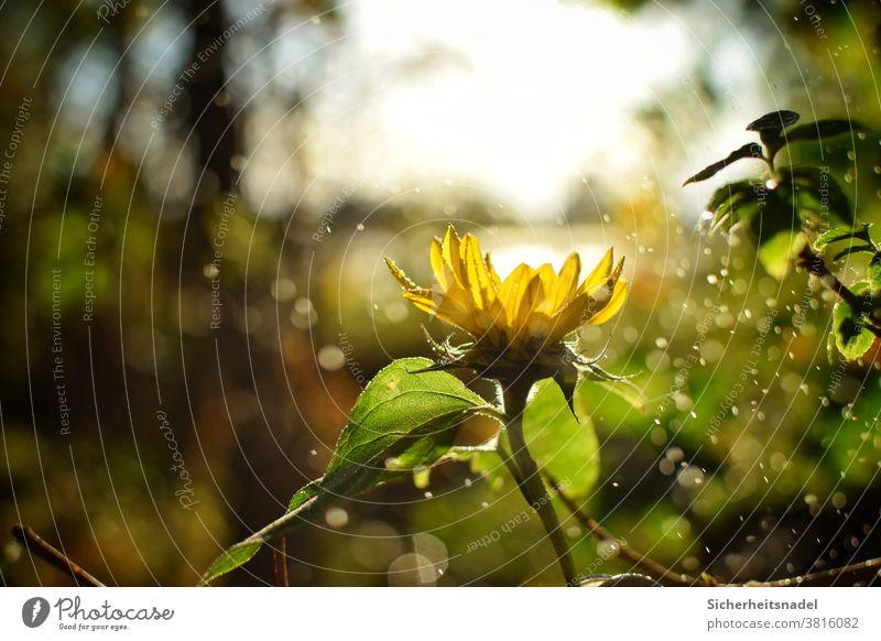 Sonnenblume Gegenlicht Blume gelb Pflanze Natur Außenaufnahme Menschenleer Sonnenlicht Nieselregen Bokeh Wassertropfen Schönes Wetter Licht Blüte Blühend