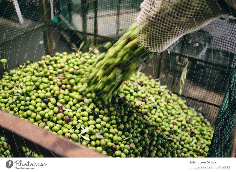 Landwirt mit grünen Oliven in der Fabrik Lager oliv eingießen Arbeiter roh Container Lagerhalle Industrie Job Kasten Prozess Inszenierung Beruf professionell