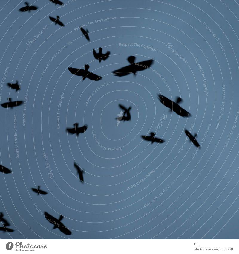 vögel Himmel Herbst Tier Vogel Flügel Tiergruppe Schwarm fliegen bedrohlich dunkel frei blau schwarz Angst gefährlich Verzweiflung Nervosität verstört Bewegung