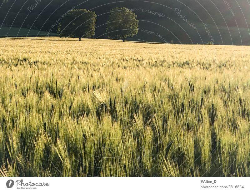 grüne Getreidefeld im Goldenen Sonnenuntergang Licht Sonnenlicht Bäume deutsche agrarindustrie Landschaft Weizenfeld lichtschein strahlend natur Feldlandschaft