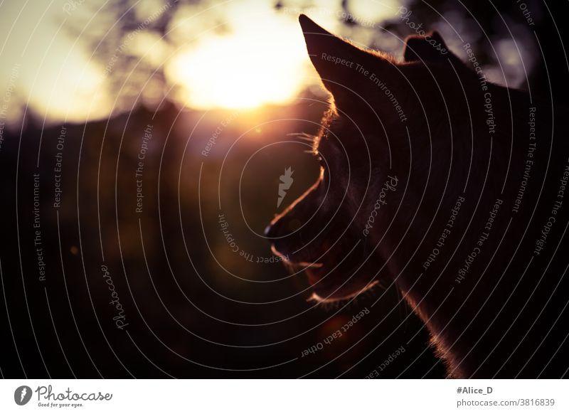 Hundeportrait silhouette im Sonnenuntergang Licht Gesicht Silhouette Sonnenlicht Dunkel Tier Haustiere portraits Natur Lichterscheinung