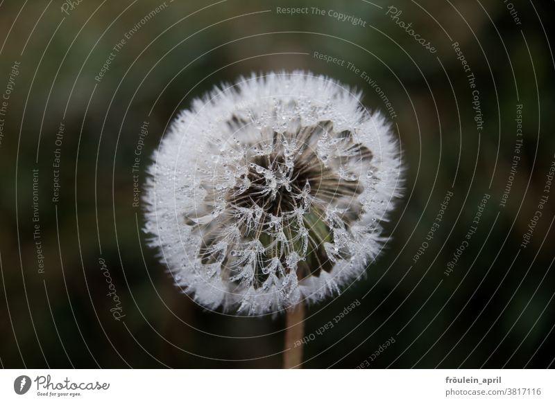 Tau zum Pusten Löwenzahn Pusteblume Blume Pflanze weiß Wasser Tropfen Natur Nahaufnahme Frühling Samen Detailaufnahme Außenaufnahme Farbfoto Wildpflanze Blüte