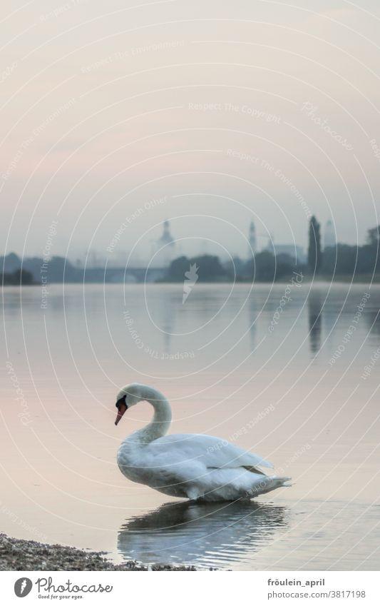 Schwan mit Nebel Tier Fluss Flussufer Wasser Außenaufnahme Natur Farbfoto Vogel weiß Menschenleer Tag Umwelt Wildtier natürlich Textfreiraum oben Licht schön