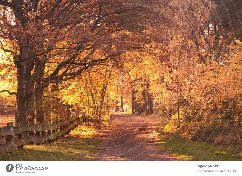 Herbstspaziergang Natur schön Pflanze Baum Erholung Landschaft Wald Umwelt Wärme Herbst Wege & Pfade natürlich träumen gold Klima leuchten