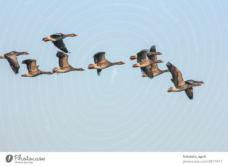 Auszug - Graugänse im Flug Vogel Vogelschwarm Zugvögel Graugans Gans fliegen reisen Zugvogel Himmel Wildtier Außenaufnahme Natur Tier Farbfoto Tiergruppe