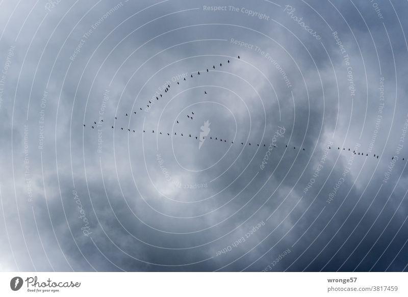 Zugvögel ziehen in V-Formation am starkbewölkten Himmel Richtung Süden in wärmere Gefilde Vogelzug Zugvogel fliegen Schwarm Natur Außenaufnahme Wildtier