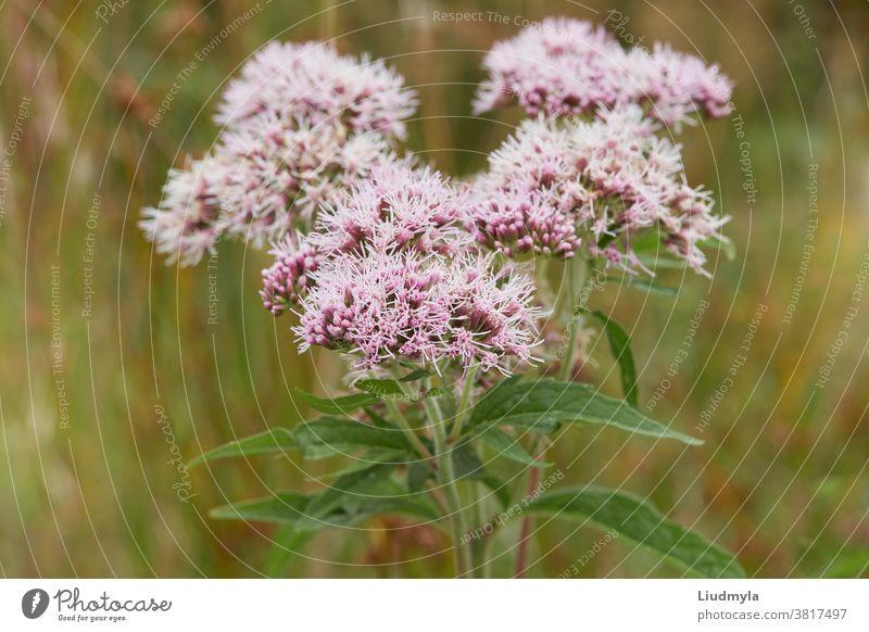 Valeriana officinalis oder Katzengras, das auf der Wiese blüht. Nahaufnahme alternativ aromatisch Blütezeit Überstrahlung Blühend botanisch Knospen Feld Flora