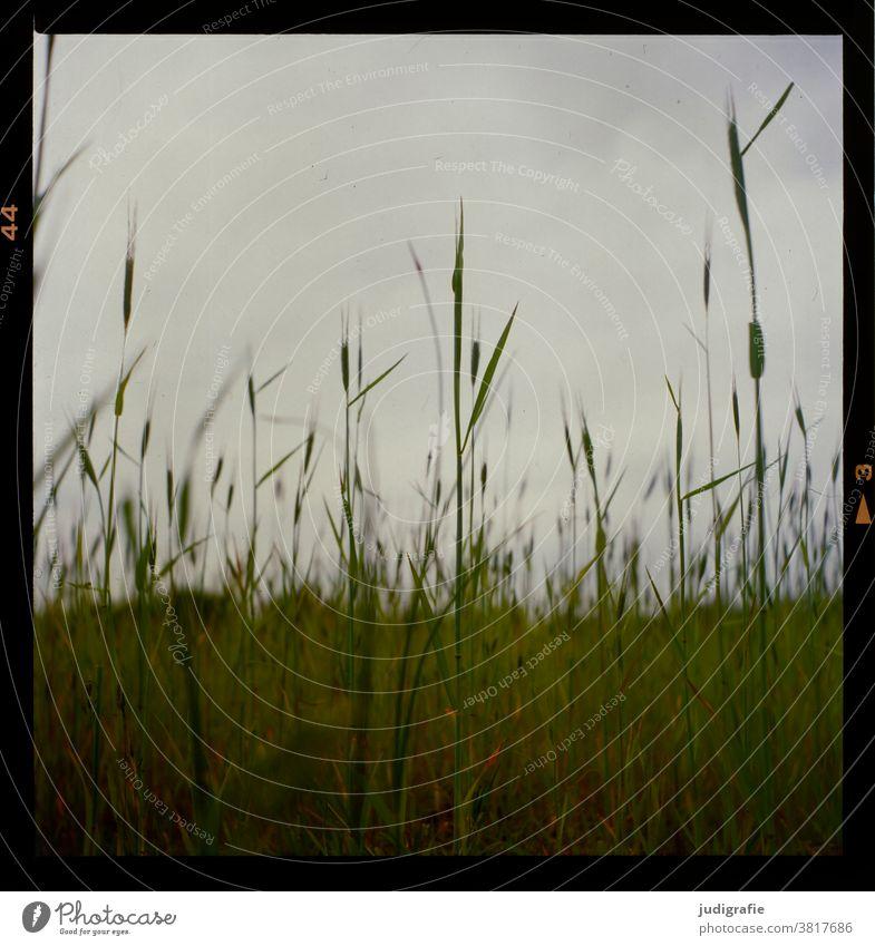 Sommer. Analoges Foto einer Wiese. Gras grün Natur Umwelt Farbfoto Außenaufnahme natürlich Feld Pflanze wachsen Wildpflanze analog Analogfoto 6x6