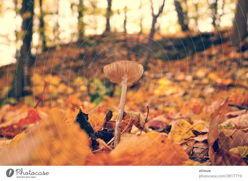 Ein kleiner Pilz inmitten von buntem Herbstlaub Wald Boden herbstlich Pilzhut Laubwald Umwelt Waldboden braun Herbstfarben Natur Blatt Pflanze Wachstum