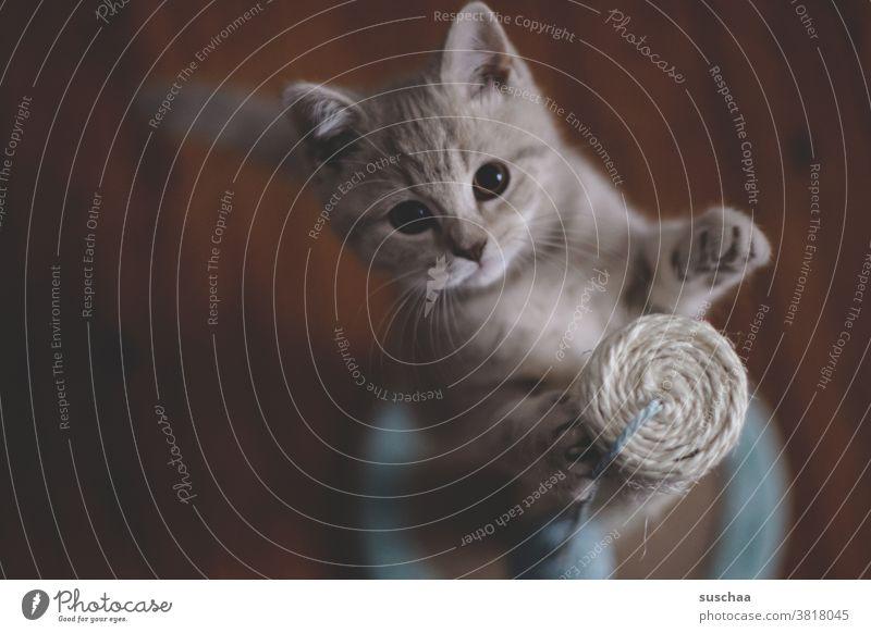 spielende katze Katze Kater Kitten Katzenkind Fell Tier Hauskatze Haustier Säugetier Tierporträt Katzenbaby kuschlig klein Tierjunges Tiergesicht verspielt