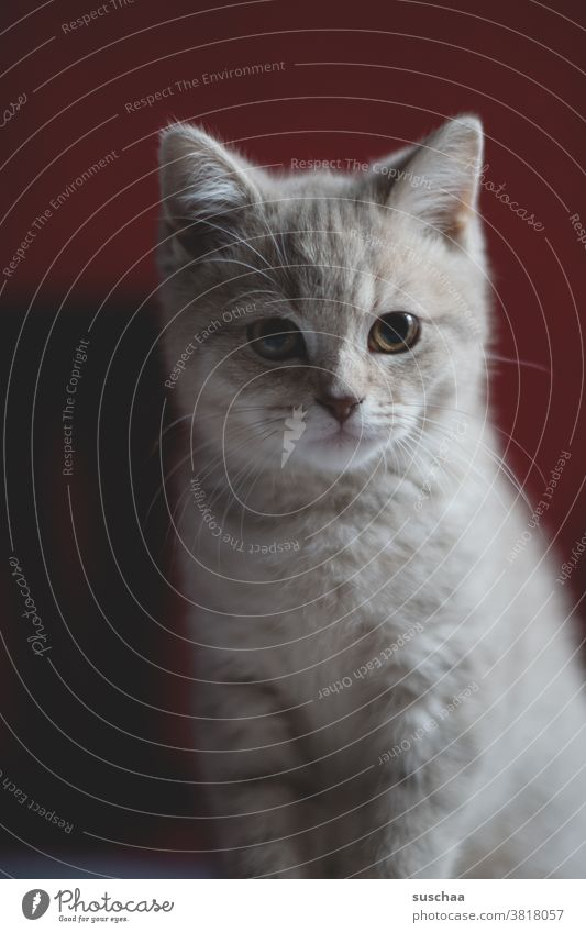 katze Katze Kater Kitten Katzenkind Tier Haustier Fell Hauskatze Tierporträt Blick Tiergesicht kuschlig Katzenkopf Schnurrhaar niedlich Wachsamkeit Katzenohr