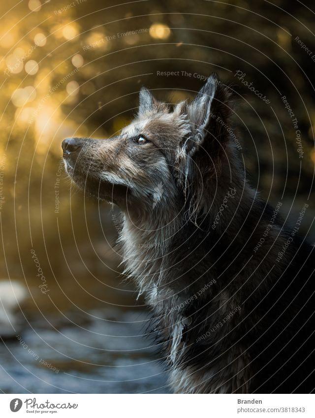 Wunderschönes Hundeporträt bei Sonnenuntergang Säugetier Frau Spaziergang weiß Wärme Natur Schäferhund Sommer Außenaufnahme Landschaft Gassi gehen Haustier