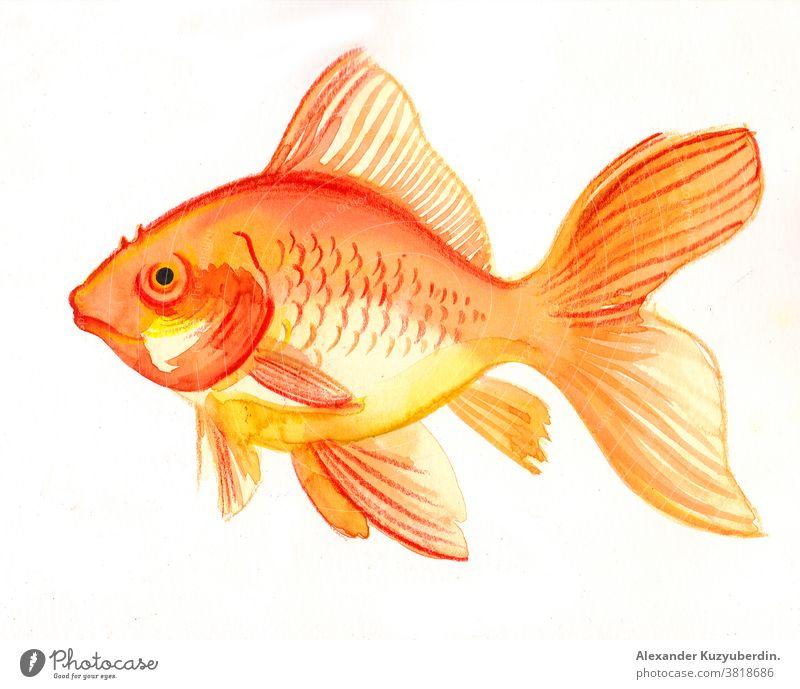 Goldener Fisch auf weißem Hintergrund. Aquarell Tier Haustier gold golden Aquarium Natur Kunst Kunstwerk Zeichnung Grafik u. Illustration Skizze Wasserfarbe