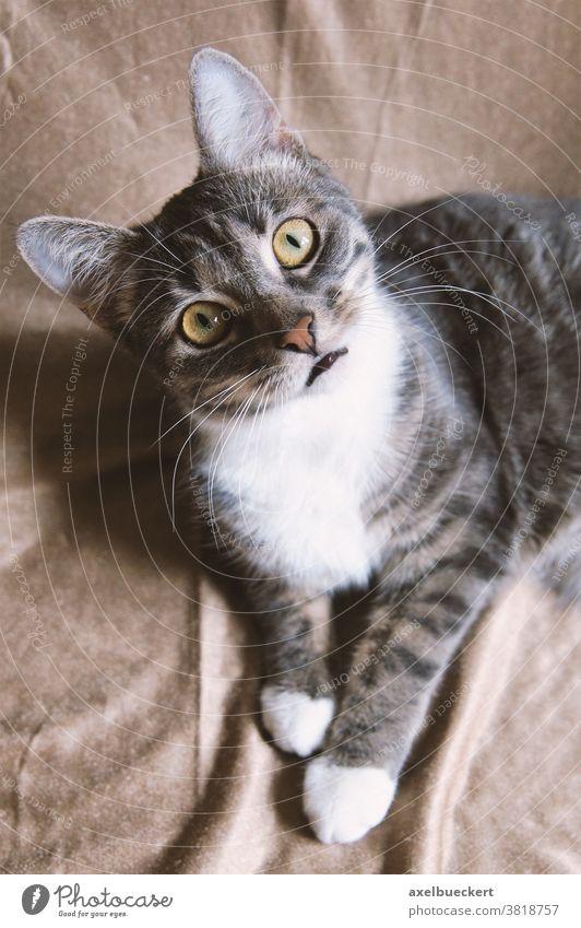 lustige Katze mit fragendem Blick Hauskatze Neugier neugierig Haustier mit großen Augen Kätzchen Überraschung Tier wissbegierig niedlich starren grau