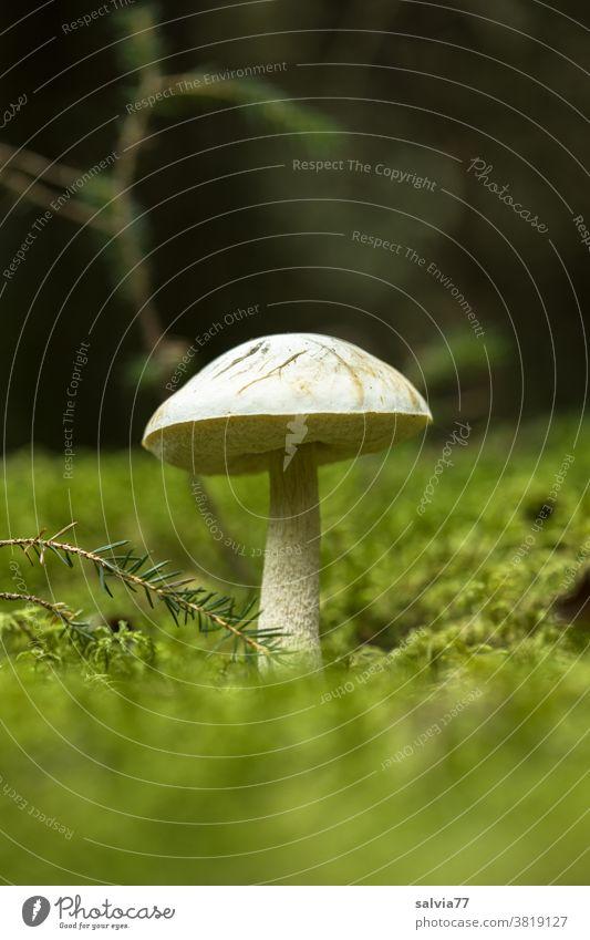 Pilz im Moos Wald Waldboden Natur Pflanze Herbst Froschperspektive grün Nahaufnahme Schwache Tiefenschärfe Menschenleer Pilzhut Wachstum Textfreiraum oben