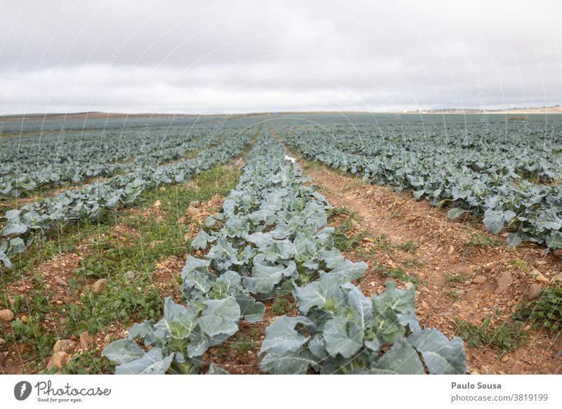 Brokkoli-Plantage Feld Brokkolipflanze Schonung Ackerbau Nutzpflanze Landschaft landwirtschaftlich Farbfoto Ernte Bauernhof Gemüse grün Pflanze Außenaufnahme