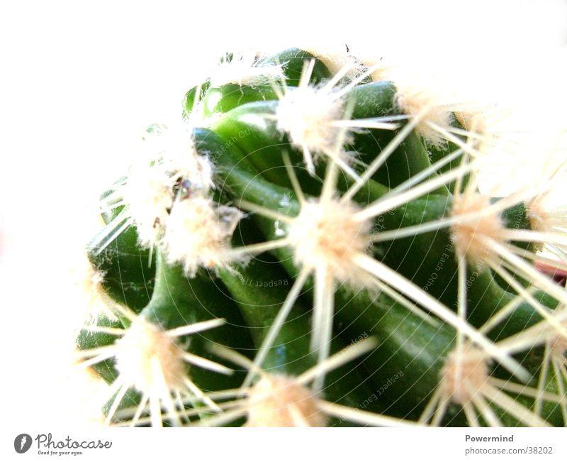 Spitzer Kaktus