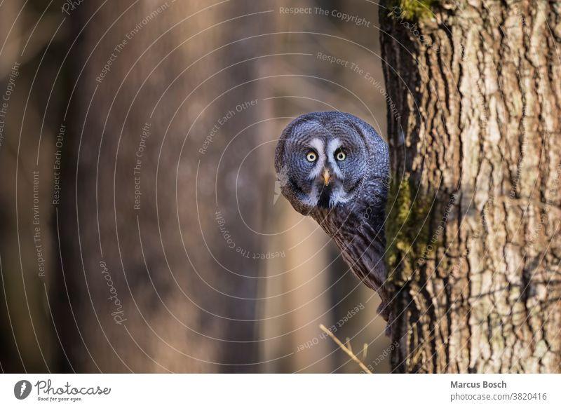 Bartkauz, Strix nebulosa, Steinkauz Eule Eulen Eulenvogel Greifvoegel Greifvogel Raubvoegel Strix-Nebulosa Vögel Tier Tiere Vogel Klick eulenvoegel