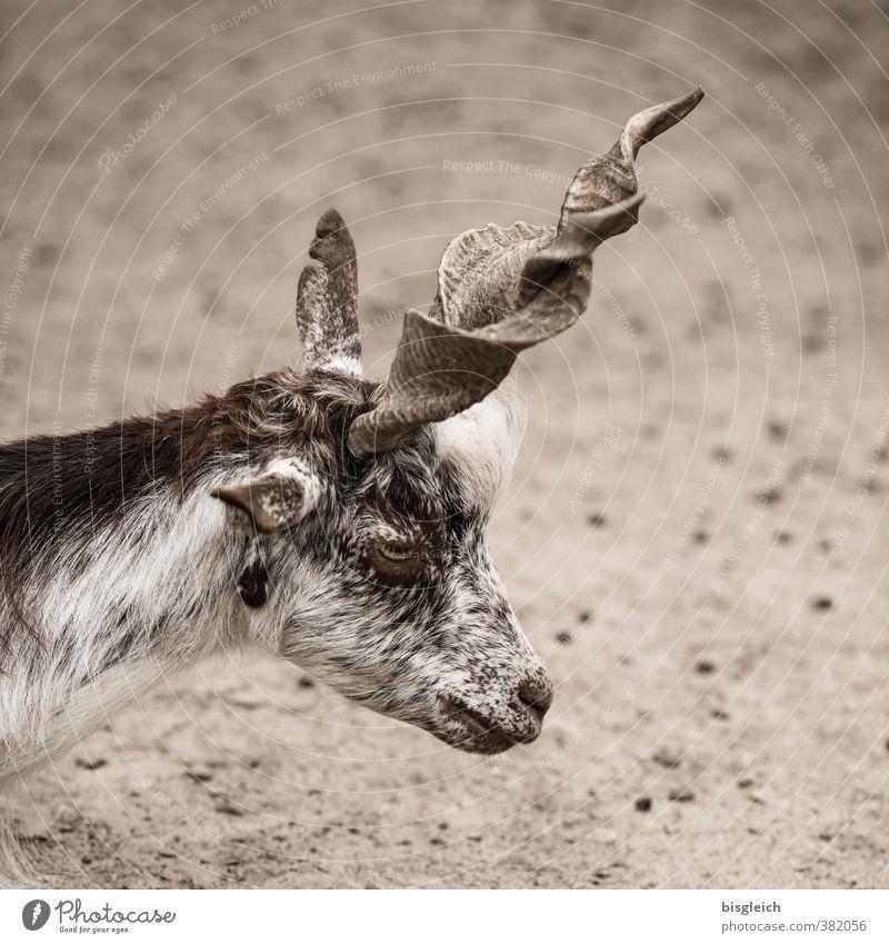 Korkenzieher Tier Haustier Nutztier Tiergesicht Ziegen 1 Blick stehen braun Horn Farbfoto Außenaufnahme Menschenleer Tag Schwache Tiefenschärfe Tierporträt