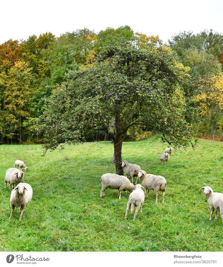grasende Schafherde auf der Wiese unterm Apfelbaum schaf schafe schafherde wiese gräser weide landschaft natur wolle schafwolle nutztier haustier schäfer weiß