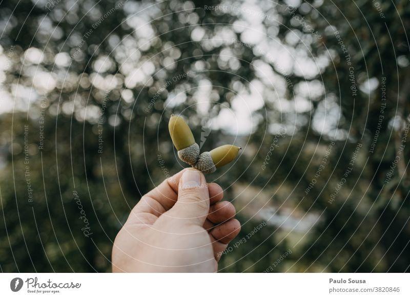Nahaufnahme Hand hält Eichel Eicheln Herbst herbstlich Herbstfärbung Natur Herbstbeginn Farbfoto Herbstlaub Außenaufnahme Umwelt Pflanze Wandel & Veränderung
