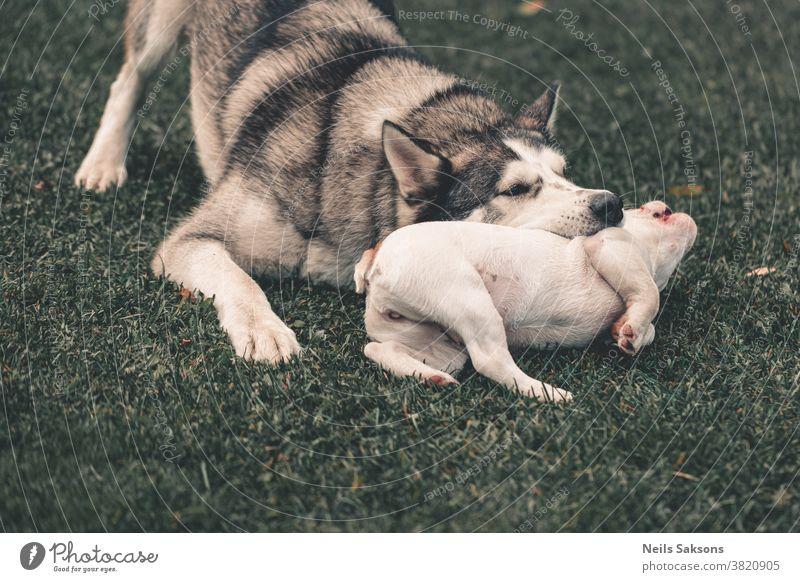 Sibirischer Husky und französischer Bulldoggenwelpe spielen im Garten sibirischer Husky malamut französische Bulldogge Welpe Spielen Biss beißend Hund weiß Tier