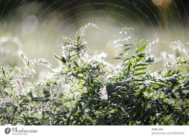 Sonnenzauber des Morgens. Silbriger Tau, schimmernd im Sonnenlicht, bedeckt in der Morgendämmerung dicht das grüne Gras auf der Wiese. Reichlich funkelnder Tau vor dem Hintergrund des irisierenden Sonnenlichts.