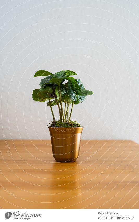 Kaffeepflanze in einer kapselförmigen Tasse nachhaltig Pflanze Espresso Nespresso Umwelt Kolumbianischer Kaffee Koffein Kaffeebohnen gerösteter Kaffee Blätter