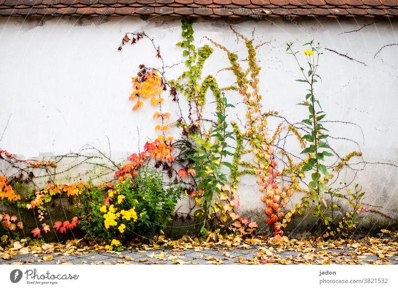 wandbild. herbstversion. Wand Mauer Pflanzen Herbst Natur Menschenleer grün Fassade Blatt Ranke laub Dach Ziegeldach Kletterpflanzen bewachsen farbenfroh