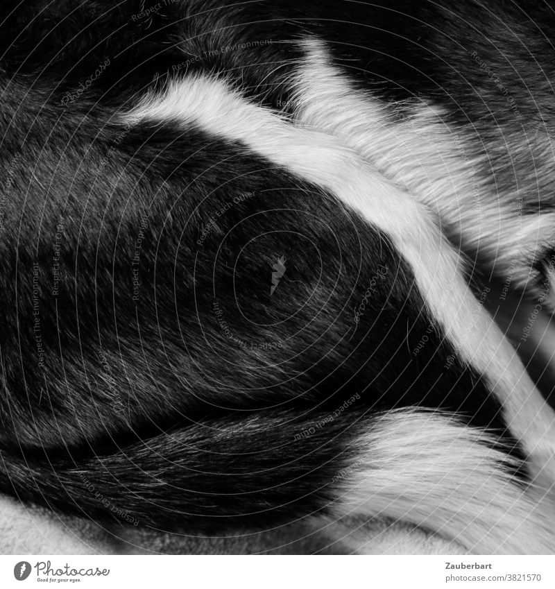 Fell und Schwanz eines schlafenden Hundes in schwarz-weiß ruhen Ruhe liegen gemütlich ausruhen kuscheln müde Tier Haustier Erholung Müdigkeit Bett Geborgenheit