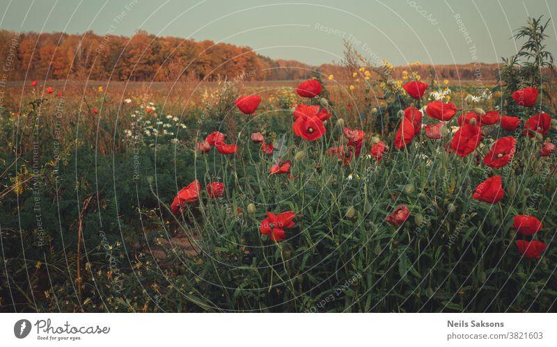 Ende Oktober blühende Mohnblumen auf Wiesen Mohnfeld Mohnblüte Hintergrund schön Blütezeit Cloud Farbe Wald Laubwerk Herbst Landschaft Feld Bereiche geblümt