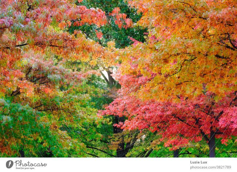 Leuchtender Herbst: Blick nach oben in Bäume mit buntem Herbstlaub herbstlich Ahorn leuchtend grün gelb rot orange Herbstfärbung Blatt Natur Außenaufnahme