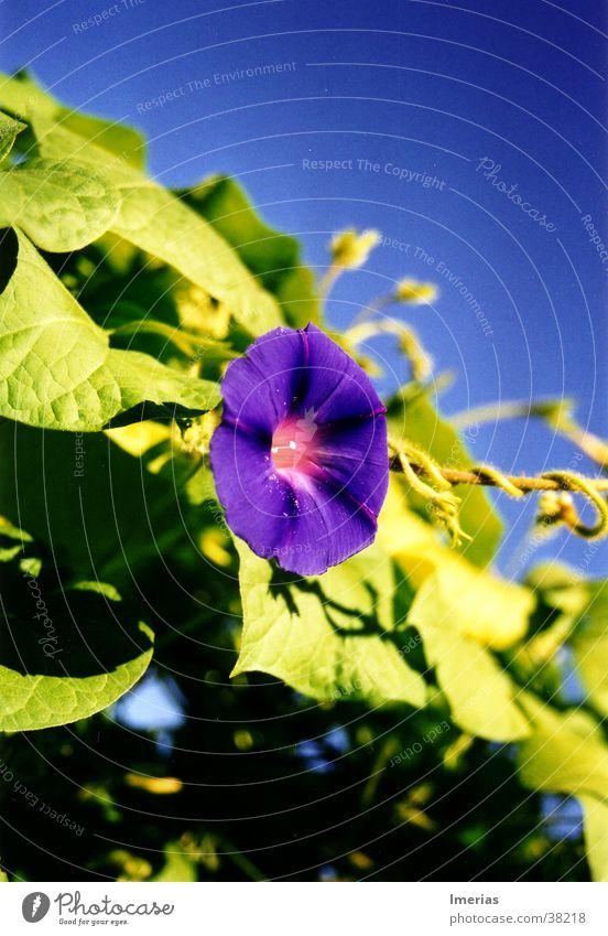 Violet_zoom Natur Pflanze Himmel Wolkenloser Himmel Schönes Wetter Blume Blüte blau grün violett Trichterwinde Kletterpflanzen Farbfoto Außenaufnahme