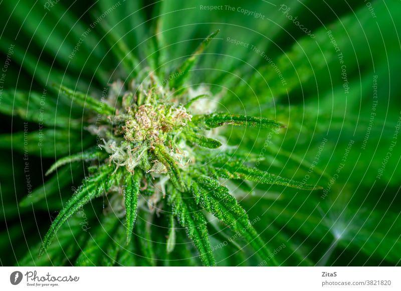 Weibliche Marihuanapflanze mit einer blühenden Knospe Cannabis Frau Blütenknospen Nahaufnahme Kraut Pflanze Baumharz Medikament Blütezeit Bauernhof Hash Medizin
