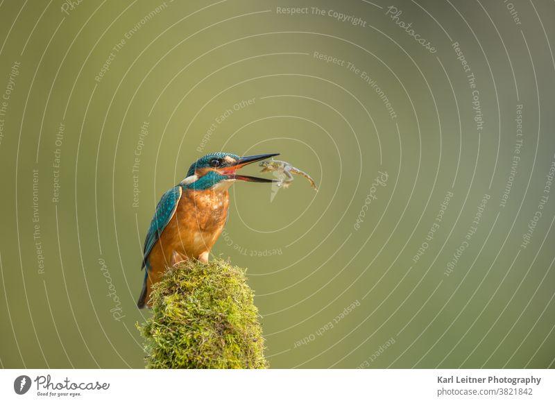 Eisvogel alcedo atthis fängt Frosch Alcedo Atthis Eisvogel Kingfisher edel selten bunt orange blauer Diamant gelb Vogel Fisch grün wiener wildnis