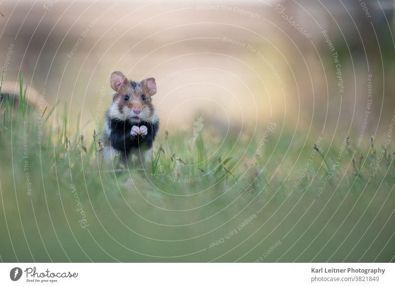 Europaeischer Feldhamster vienna wildlife european hamster wiener wildnis wildtiere wien braun nager nagetier karl leitner sweet cute süß lieb niedlich blumen