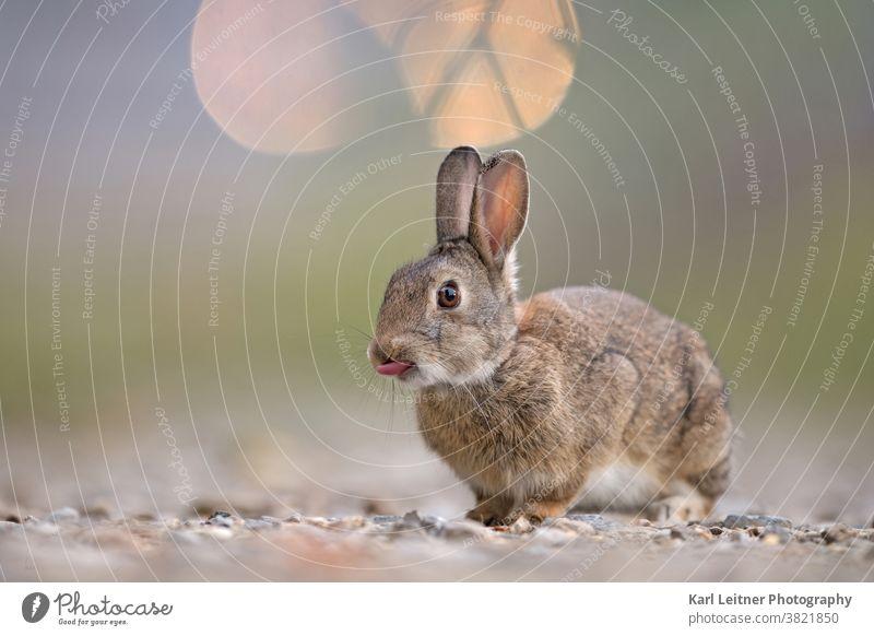 Wildkaninchen wildkaninchen Zunge Licht pelzig Pelz lustig witzig Hase & Kaninchen süß Fell Auge Nagetier nager Kies Steine Ohren grün braun wiener wildnis