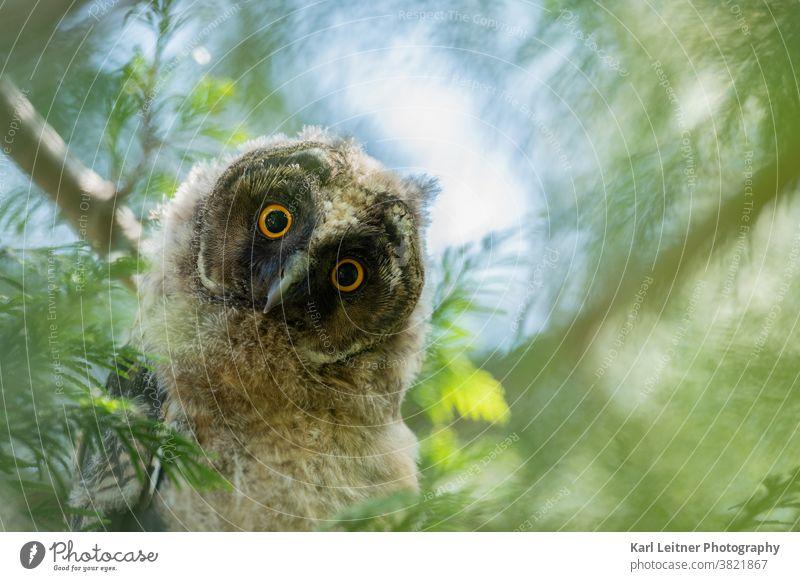 Junge Waldohreule (Asio otus) (Asio otus) Waldohreule Friedhof Wiener Wildnis jung juvenil vienna wildlife owl long eared owl wald baum vienna nature