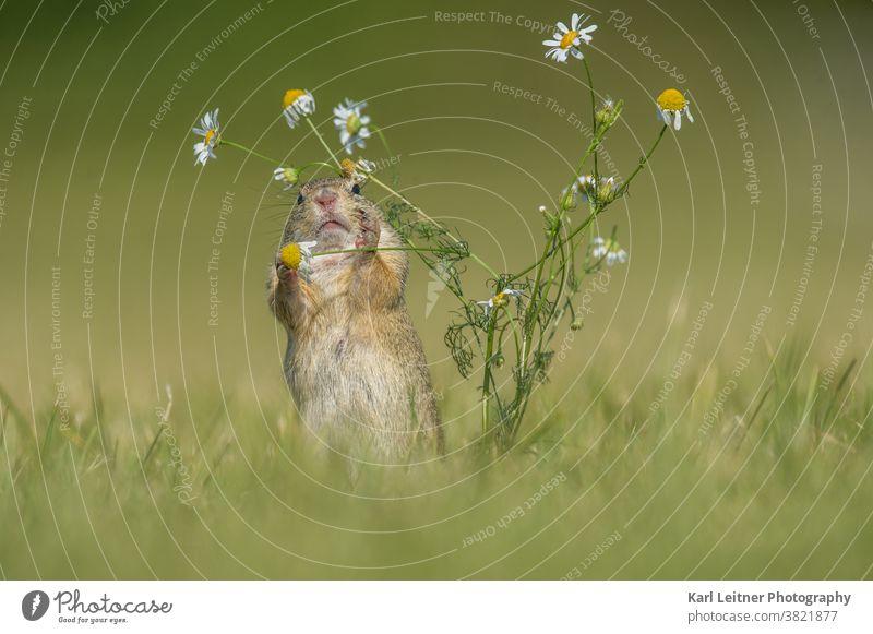 Ziesel braun grün Nagetiere Säugetier Blumenwiese gelb pelzig Pelz lustig lieblich süß bedroht scheu klein Loch