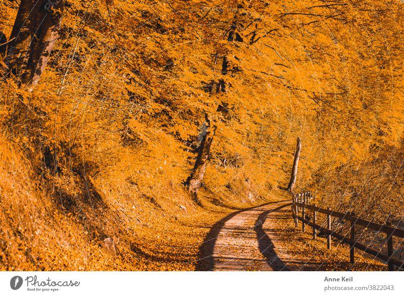 Herbstexplosion in Orange mit Schatten vom Holzgeländer auf dem Wanderweg Herbstlaub Herbstfärbung herbstlich Außenaufnahme gelb Blatt Farbfoto Menschenleer