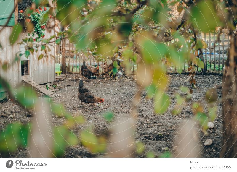 Hühner in einem idyllischen Freiland Gehege. Ökologische Landwirtschaft. Henne draußen Freiluft Biologische Landwirtschaft Freilandhaltung freilaufend Bauernhof