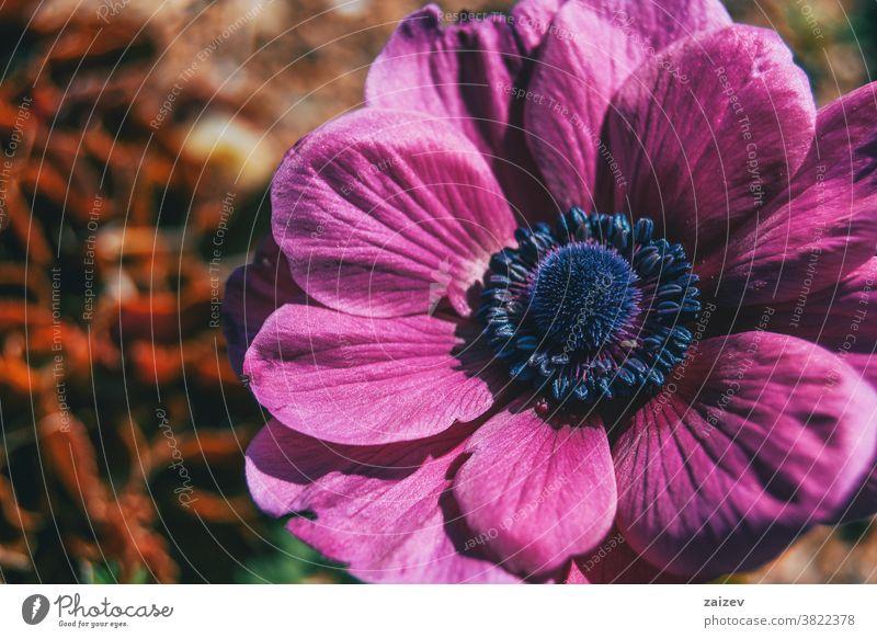 Makro einer isolierten rosafarbenen Blüte der Anemone coronaria Anemonen-Koronarie Mohnanemone spanische Ringelblume Windblume Kuhschelle mediterran Blume