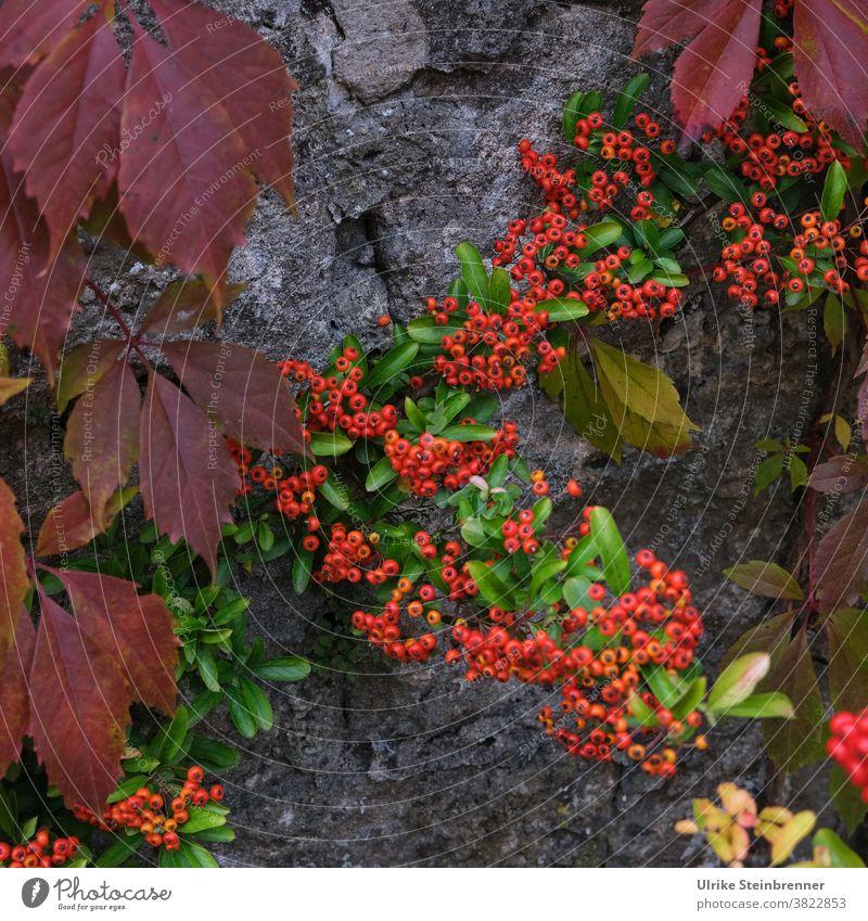 Feuerdorn und Blätter vom Wilden Wein leuchten in Herbstfarben Beeren Wilder Wein Weinblätter Pyracantha Strauch Mauer Kletterpflanze Vogelschutz leuchtend