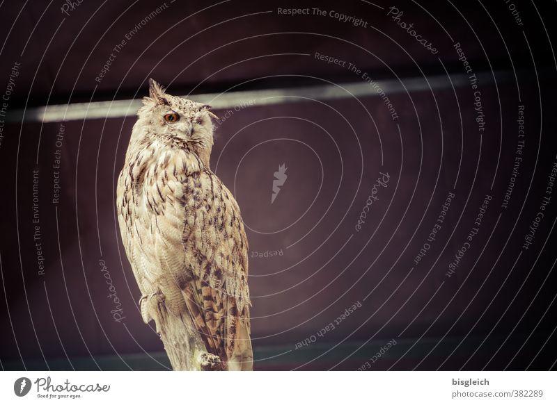 Uhu ruhig Tier braun Vogel Wildtier sitzen Gelassenheit Wachsamkeit Weisheit geduldig achtsam Eulenvögel Uhu