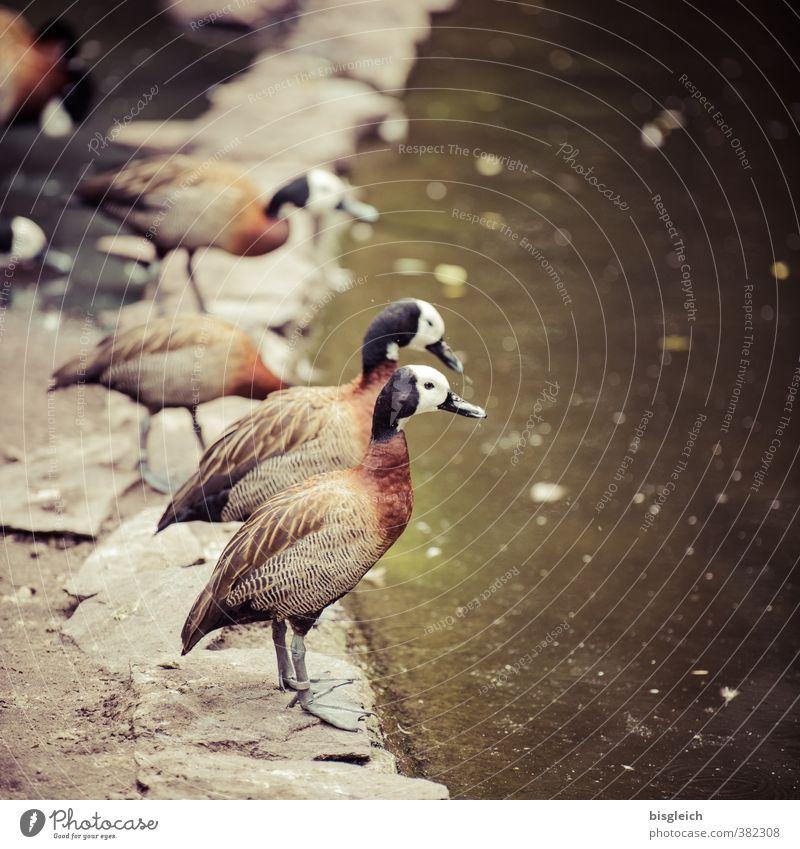 Enten am Wasser Geflügel Teich Wildtier Vogel Entenvögel 4 Tier Blick stehen braun grün Farbfoto Außenaufnahme Menschenleer Textfreiraum rechts Tag