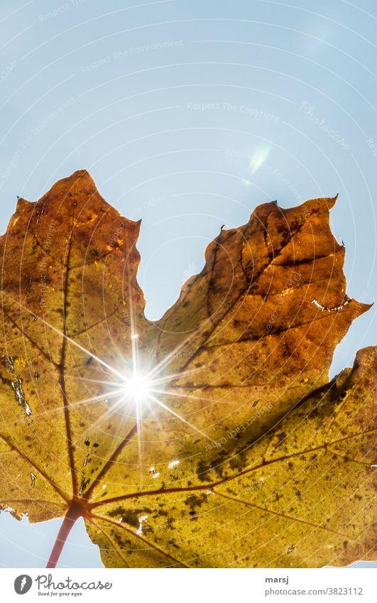 Herbstblatt mit Sonnenstrahlen Ahornblatt Blatt Sonnenlicht Natur glänzend leuchten verblüht authentisch kaputt natürlich Hoffnung demütig Tod Leichtigkeit welk