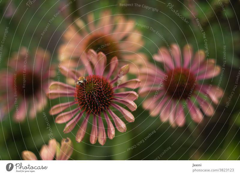 Rosaroter Sonnenhut mit einer Biene Blume Blüte Nektar rosa rosarot Honig Pflanze saugen Insekt Natur Sommer grün bestäuben Flügel fliegen Garten Honigbiene